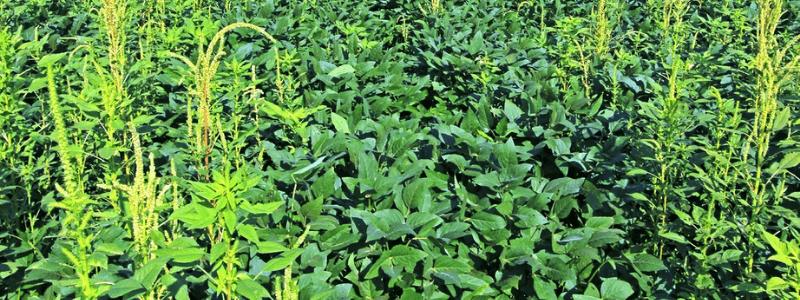 Caruru-palmeri