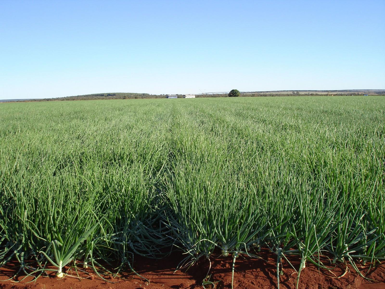 Irrigação de cebola e seus resultados