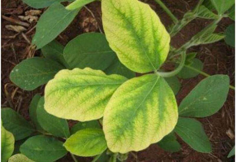 Presença de clorose em folhas de uma planta