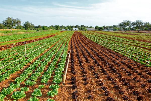 Campo de alface onde é realizada a irrigação