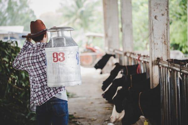 Pecuarista auxiliando a engordar o gado com alimentos ricos em nutrientes