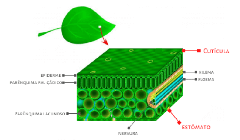 Estrutura da folhas
