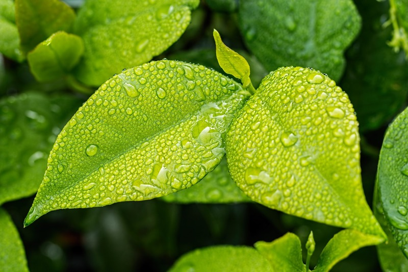 Análise foliar, folhas verdes