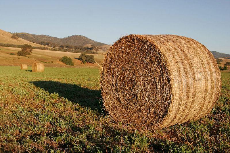Forragem é um dos pontos mais valorizados nas culturas de bovinos