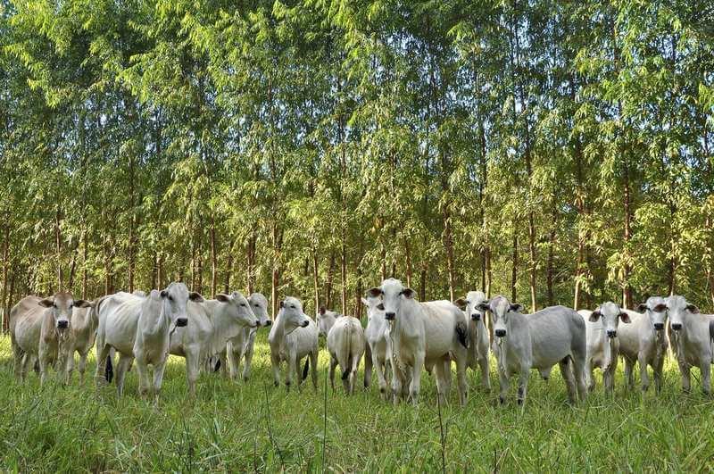 Manada de gado em meio a floresta