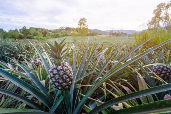 Irrigação de abacaxi