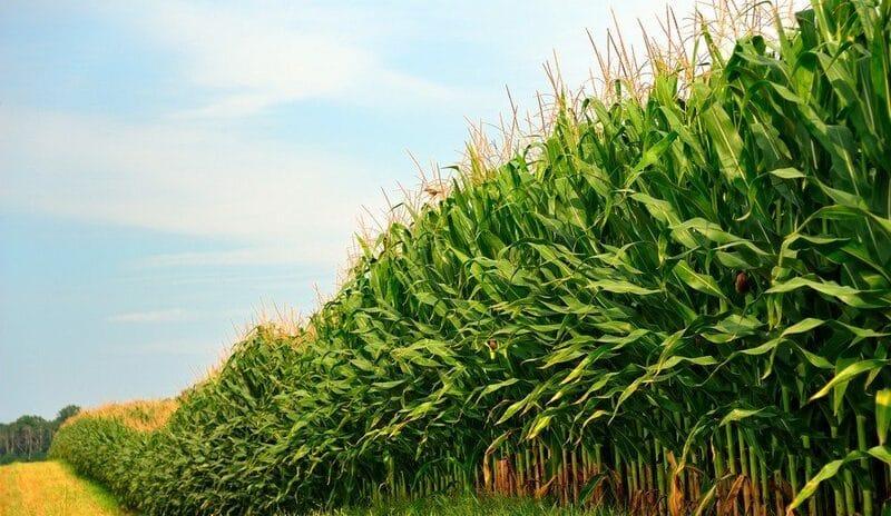 Silagem de milho: cuidados que fazem a diferença no plantio