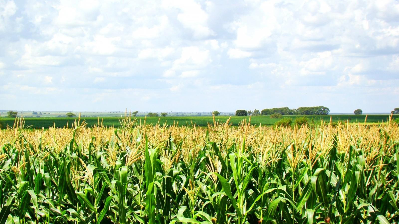 O segredo para colher 270/hec de milho com irrigação