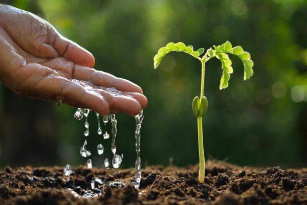 Mão despejando água em planta