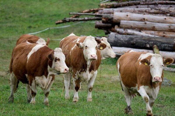 Pastagem para vaca de leite