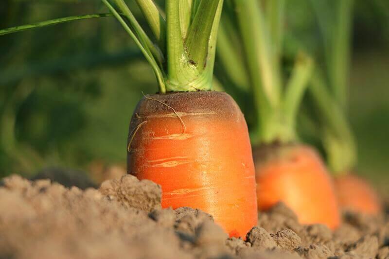 Cenoura na terra