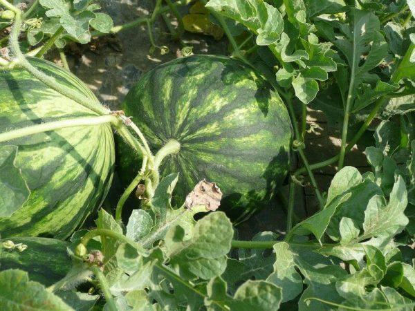 Plantação de melancia