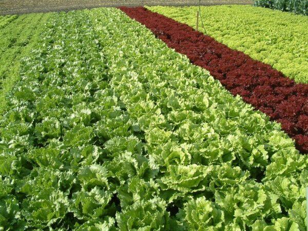 Plantio de hortaliças