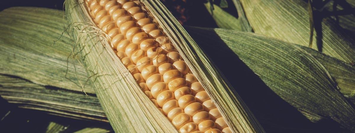 Preocupação com a seca no plantio de milho continua